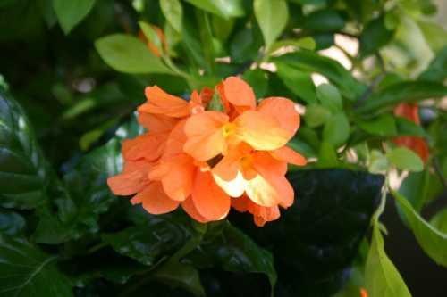 Кроссандра Уход и выращивание кроссандры