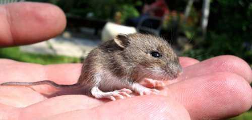 К чему снится мышь маленькая, много маленьких