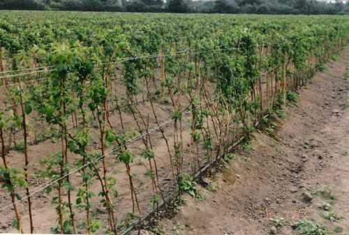 Можно временно окучить саженец землей на см, при осенней посадке окучивание сохраняют до весны, а при весенней на недели, пока молодое растение не приживется
