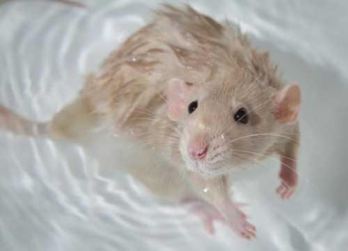 Чем кормить крысу в домашних условиях