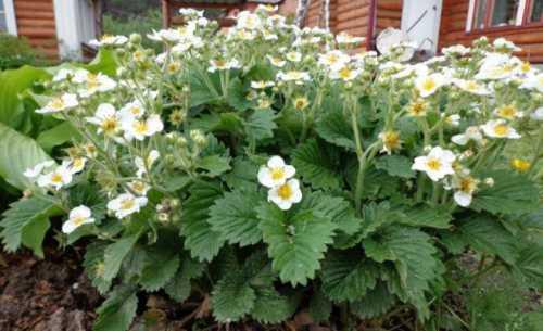 Выращивание ремонтантной клубники: посадка и