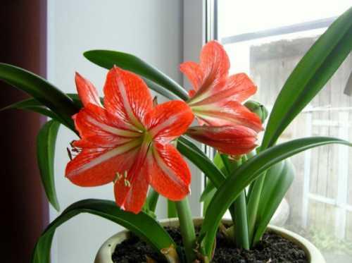 Лилия: уход и выращивание