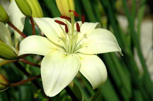 После посадки лилий начинается следующий этап в их жизни, который должен сопровождаться правильным уходом и выращиванием