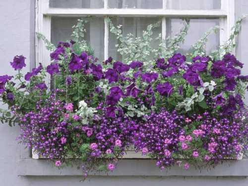 Но при избыточном поливе или влажным, жарким летом растение может поразить мучнистая роса, которую лечат сапролем, серой или фундазолом