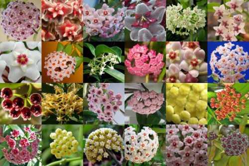 ВНИМАНИЕ Цветет хойя долго и обильно