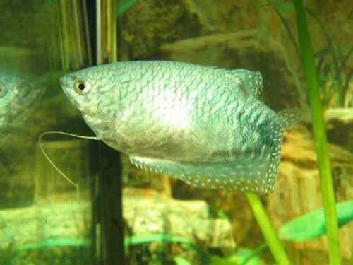 Симптомы когда чешуя начинает становиться дыбом если смотреть на рыбку сверху, чешуя выглядит как иголочки, под ней образуются визикулы пузырьки, в которых находятся возбудители болезни