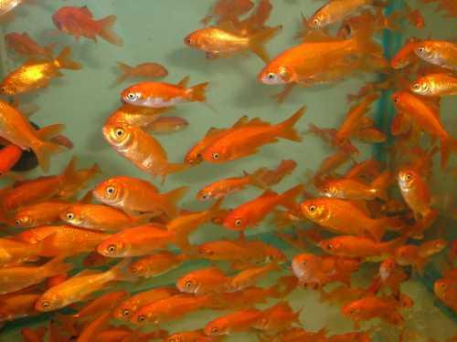 Реанимация больных рыб в общем аквариуме не всегда дает ное выздоровление