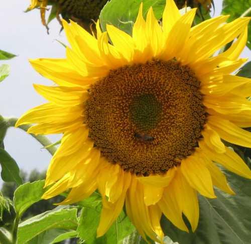 Лечебный эффект цветочная пыльца